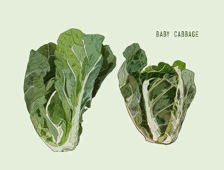 Baby Cabbage. Vector hand drawn vegetables isolated . Illustration