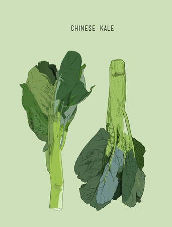 Vector of Fresh Green Chinese Cabbage, Bok Choy isolated on greenery Ilustracja