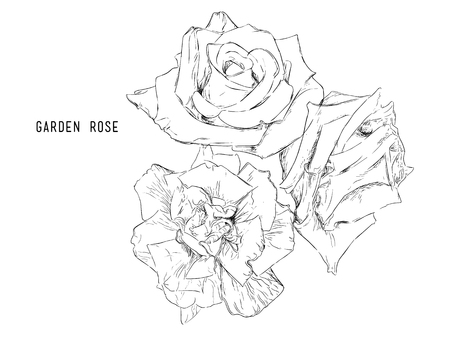 garden of eden: Light Pink and red  Rose Flower isolated .Vector illustration collection set of multicolored roses.
