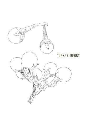 Turkey berry (Solanum torvum) , vegetable , thai spice , herb .Hand drawn sketch line art vector.
