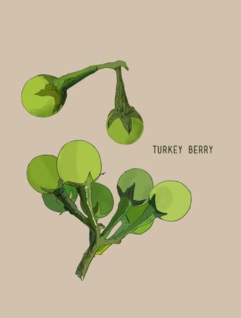 Turkey berry (Solanum torvum) , vegetable , thai spice , herb .Hand drawn sketch line art vector.