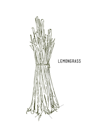 Hand drawn lemongrass branch with leaves isolated on white. Illustration