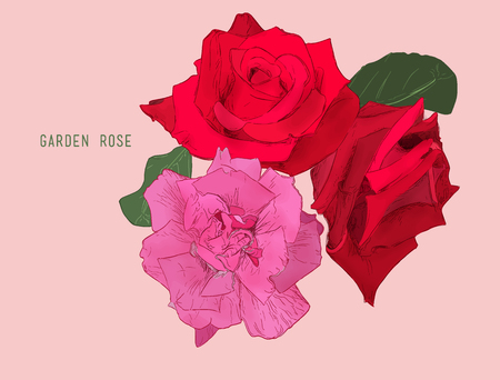 garden of eden: Light Pink and red  Rose Flower isolated .Vector illustration collection set of multicolored roses. Hand drawn sketch line art vintage style.