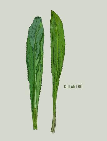 Culantro illustration vector , Hand drawn sketch line art of Herb . Gardening ingrediant food. Illustration