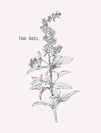Thai basil vector. Hand drawn sketch leaves of spice thai basil.