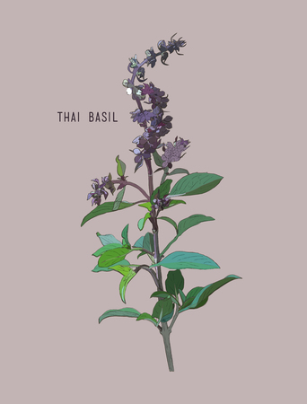 thai herb: Thai basil vector. Hand drawn sketch leaves of spice thai basil.