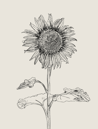 Sunflower. Vector set of hand drawn sunflowers and leaves, vintage style. Illustration