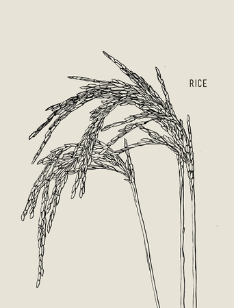 Vector Illustration of green Ripe Rice , Cereal Plants , Jasmin Rice.
