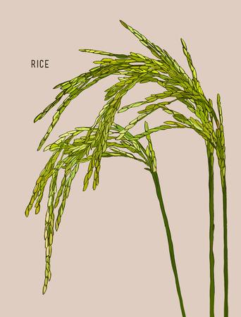 rye: Vector Illustration of green Ripe Rice , Cereal Plants , Jasmin Rice.