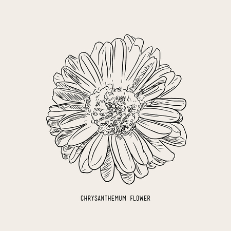 Chrysanthemum  flower use for beverage ,infusion tea  ,sketch flower vector.