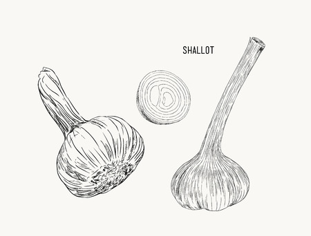 Vector Fresh Whole and Sliced Red Onion Bulbs, hand draw sketc vector.