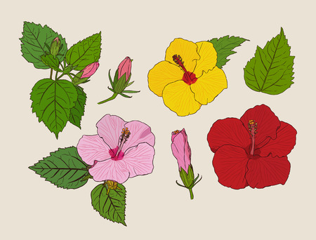 Set of Chinese Hibiscus or Hibiscus rosa-sinensis . Flower symbol of Hawaii.