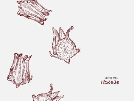 hand drawn illustration Roselle flower .