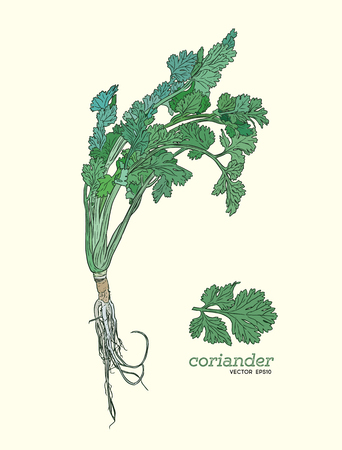Coriander vector hand drawn illustration.