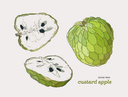 Custard apple hand drawn illustration vector set.
