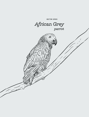 African Grey Parrot. Hand draw sketch vector.