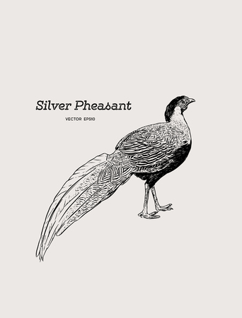 Silver Pheasant (Gallophasis nycthemerus)  vintage illustration vector.