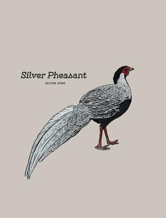 Silver Pheasant (Gallophasis nycthemerus)  vintage illustration vector.