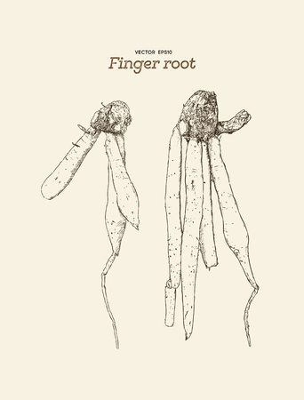 Finger root is ingredient for cooking Thai cuisine, it also a traditional medicine. hand draw sketch vecotr.