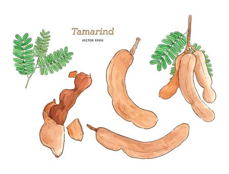 tamarind  set watercolor  hand draw sketch vector. Illustration