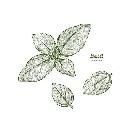 Basilicum blaadjes. Vectorillustratie voor ontwerpmenu's, recepten en pakkettenproducten.