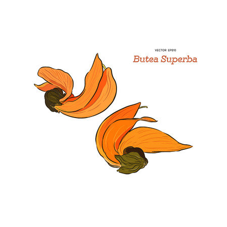 Butea Monosperma or Palash Flower of Southeast Asia. Hand draw sketch vector.