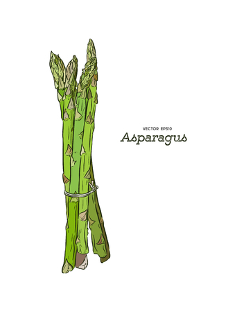 Asparagus vector illustration. Engraving vegatable. Asparagus onion isolated. Detailed vegetarian food. Farm market product.