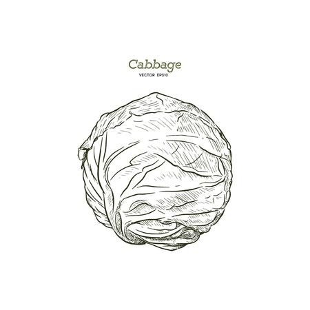 Fresh green cabbage vegetable isolated. cabbage for farm market, vegetarian salad recipe design. Vector illustration