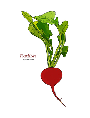 Radish hand drawn vector illustration set. Isolated Vegetable engraved style object with sliced pieces. Detailed vegetarian food drawing. Farm market product. Great for menu, label, icon
