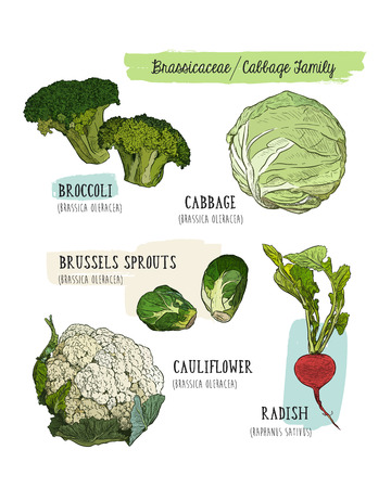 Various cabbage set.  cabbage, broccoli, Brussels sprouts, cauliflower, radish. Hand drawing sketch Vector illustration art. Vintage engraving.