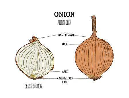 Onion hand drawn vector illustration. Isolated Vegetable engraved style object. cross section part. Ilustração