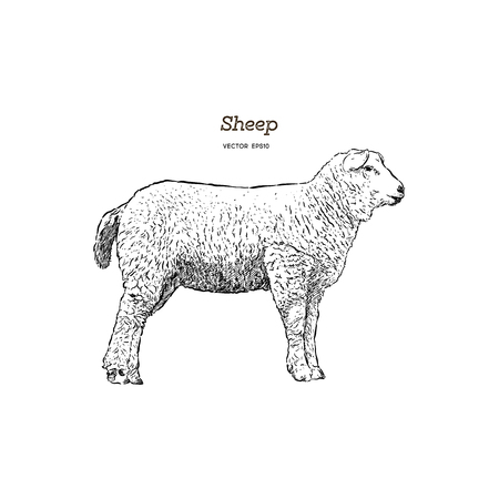 Sheep sketch style. Hand drawn illustration of beautiful animal. Line art drawing in vintage style. Realistic image.
