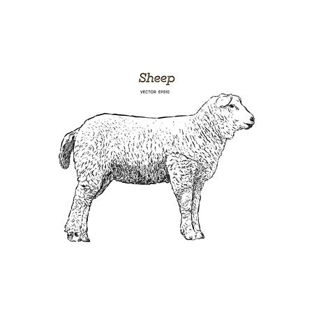 Styl szkicu owiec. Ręcznie rysowane ilustracja pięknego zwierzęcia. Grafika liniowa rysunek w stylu vintage. Realistyczny obraz. Ilustracje wektorowe