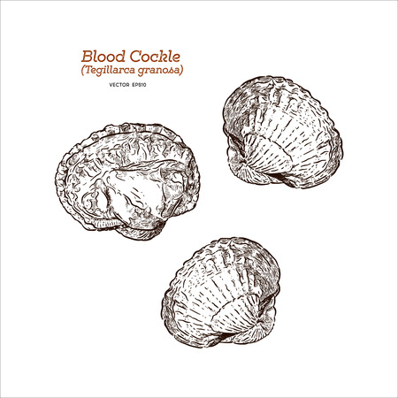 Fresh blood cockle or blood clam (Tegillarca granosa), Hand draw sketch vector.