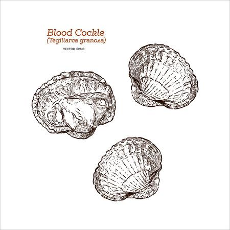 Fresh blood cockle or blood clam (Tegillarca granosa), Hand draw sketch vector. Illustration