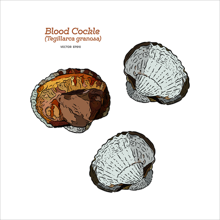 Berberechos de sangre fresca o almejas de sangre (Tegillarca granosa), vector de boceto de dibujar a mano.