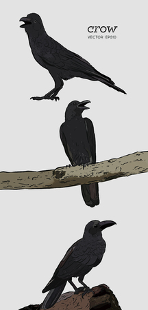 illustration of a crow, drawing by hand of a black bird for halloween
