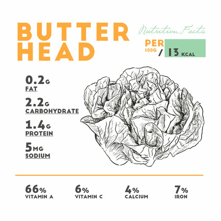 Nutrition facts of raw butterhead, lettuce. Hand draw sketch vector.