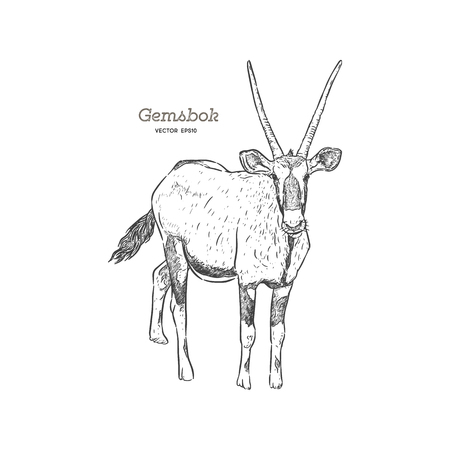 Portrait of a standing Gemsbok with two horns looking into the cam, side view, hand drawn vector illustration