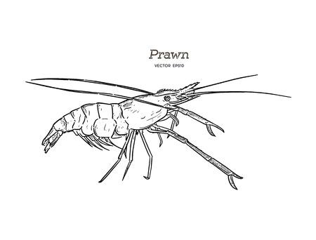 Vector Illustration: Giant freshwater prawn ( Giant malaysian,Macrobrachium rosenbergii) . Fresh live River shrimp hand draw sketch vector.