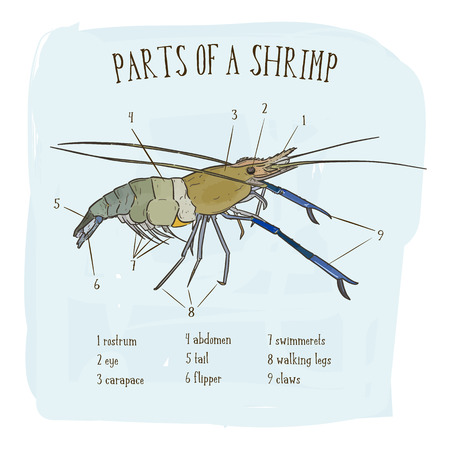 Part of shrimp, hand draw sketch vector. Vettoriali