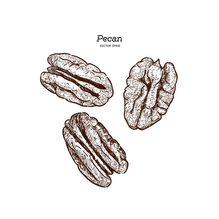 Pecans, hand draw sketch vector.