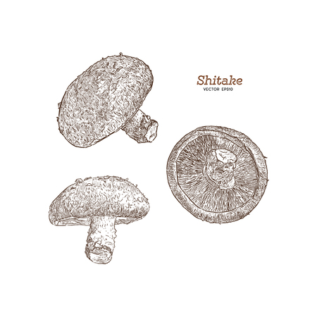 Shiitake: mushroom and a bit of shiitake. Mushroom. Vector hand drawn illustration - Vector