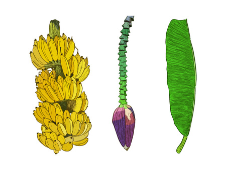 Pisang Awak banana .Thai call Kluai Namwa set. hand draw sketch vector. Stok Fotoğraf - 120408445