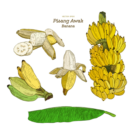 Pisang Awak banana .Thai call Kluai Namwa set. hand draw sketch vector.