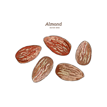 Almond, hand draw sketch vector.