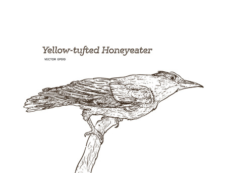 yellow tufted honeyeater perched on wood, Hand draw sketch vector. Vettoriali