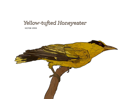yellow tufted honeyeater perched on wood, Hand draw sketch vector. Illustration