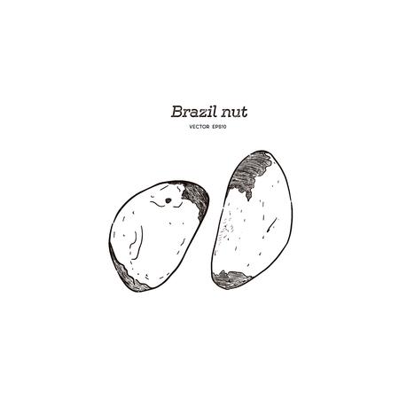 Hand drawn brazil nuts set. Vector illustration - Vector Illustration