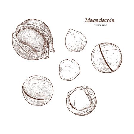 Set of macadamia. Hand drawn vintage illustration. Nut vector collection. - Vector